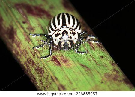 A Black-belly Potato Beetle (aka Leaf Beetle, Leptinotarsa Undecemlineata) On A Plant Stem At Night