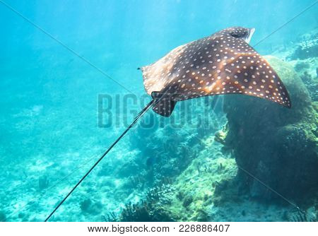 A Spotted Eagle Ray (aetobatus Narinari) Swims Along The Coral Reef In The Carribean Sea. Corn Islan