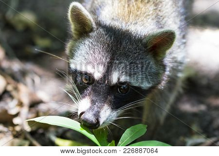 A Raccoon (procyon Lotor) On The Jungle Floor In Cahuita National Park, Costa Rica.