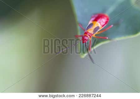 A Red Insect Crawls To The Tip Of A Leaf In The Jungle Of Costa Rica.