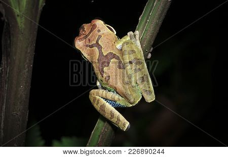 A Mexican Blue-spotted Treefrog (smilisca Cyanosticta) On A Branch At Night In Southern Belize.