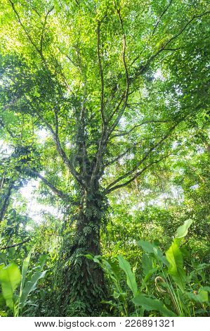 A Large Tree Covered In Epiphytes Rises Into The Canopy Of The Costa Rican Jungle.
