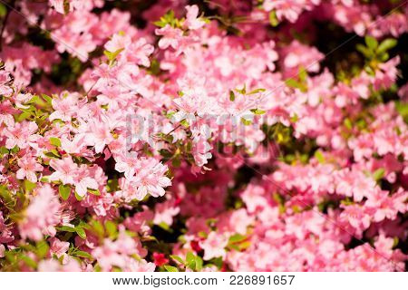 Pink Flower Azalea Rhododendron Group Bright Cerise Flowers Background Crops (rhododendron Schlippe