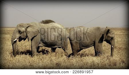 Elephants In The Sabana Of Africa In Tanzania