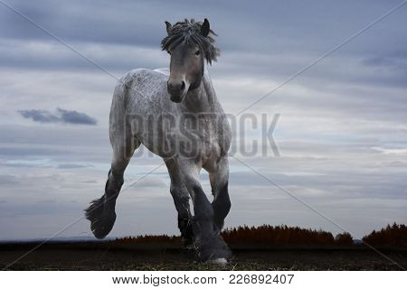A Powerful Strong Horse Of The Brabanson Breed Looks Beautiful Against The Backdrop Of The Severe Sk
