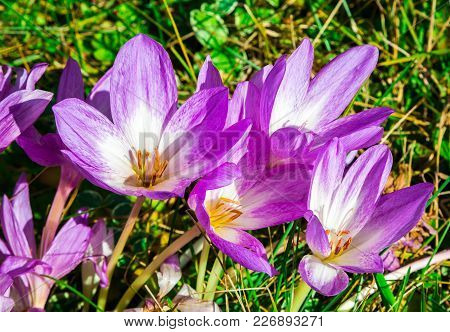 Blooming Purple Colchicum In Autumn Outdoors, Natural Background