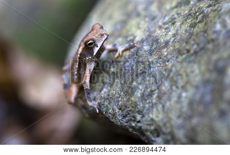 A Campbell's Rainforest Toad (bufo Campbelli Or Incilius Campbelli) Clinging To A Rock In Belize.
