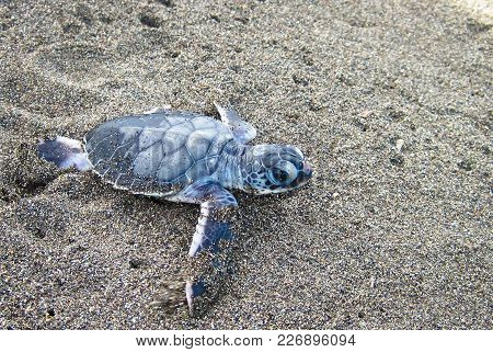 A Baby Green Sea Turtle (chelonia Mydas) Crawling Towards The Ocean After Emerging From Its Nest. To
