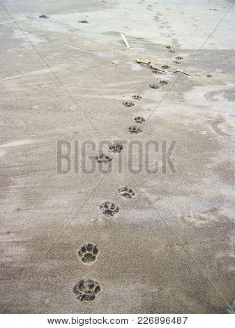 A Jaguar's Footprints Lead Through The Sand On The Beach Of Tortuguero National Park, Costa Rica.