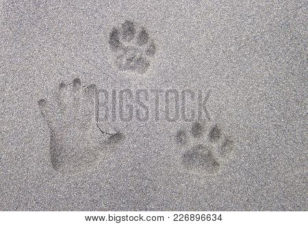 An Adult Human Hand Print Next To A Jaguar Footprint In The Sand. Costa Rica.