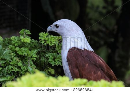 A Common Eagle Called  Krishna Eagle That Is Found In South India