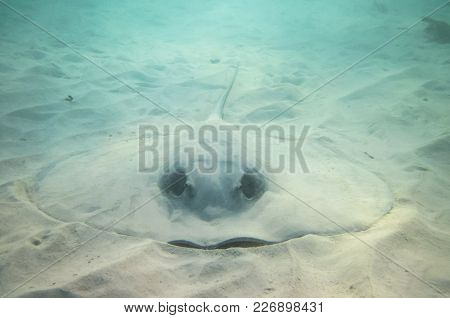 A Caribbean Whiptail Stingray (himantura Schmardae) Rests On The Ocean Floor Under A Layer Of Sand F