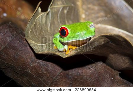 A Red Eyed Treefrog (agalychnis Callidryas) On A Leaf At Night With One Eye Open. Tortuguero Nationa
