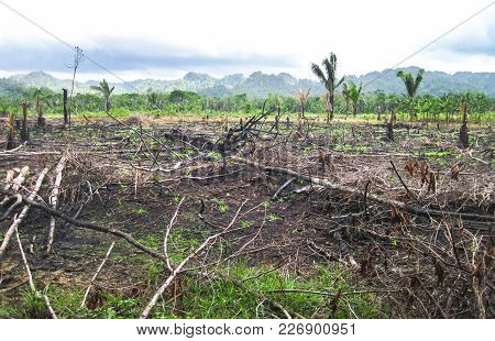 Slash-and-burn Agriculture In A Field In Southern Belize.