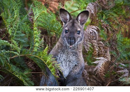 A Red-necked Wallaby (or Bennett's Wallaby, Macropus Rufogriseus) Among Bracken Ferns In Narawntapu