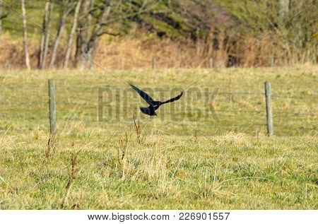 A Single Raven Flies Away From A Field In Front Of A Barbed Wire Fence.