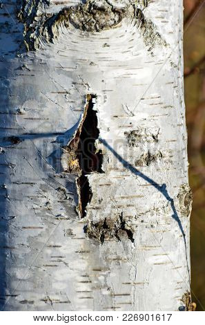 Crack In The Bark Of A Birch Tree Which Looks Like A Wound In Skin.
