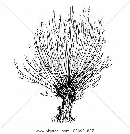 Cartoon Vector Doodle Drawing Illustration Of Broadleaved Or Deciduous Willow Or Sallow At Spring. T