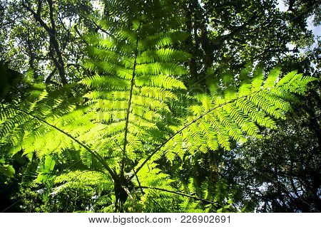 A Large Tree Fern (order Cyatheales) Illuminated In The Sunlight In The Dark Monteverde Cloud Forest