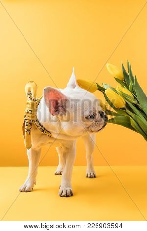 French Bulldog Sniffing Beautiful Yellow Tulips On Yellow