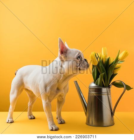 Dog Sniffing Beautiful Yellow Tulips In Watering Can On Yellow