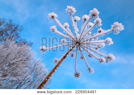 The Frost On The Stem Of The Flower Against The Blue Sky. The Branches Of The Tree In Frost On The C