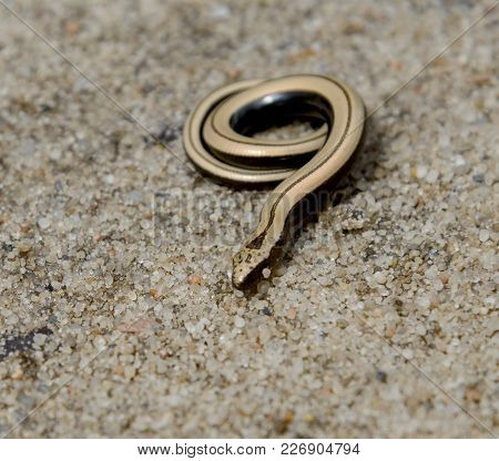 Coiling slow worm (or Anguis fragilis) on sand background. Little defenselessly snake likes to gold bijouterie. poster