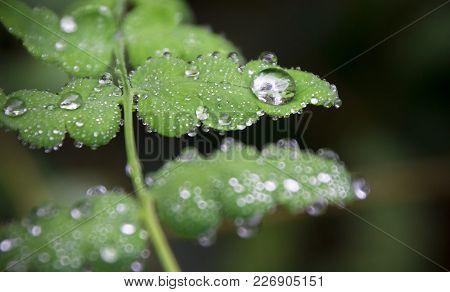 Dew Drops Sit On A Fern Leaf In A Dark Forest.