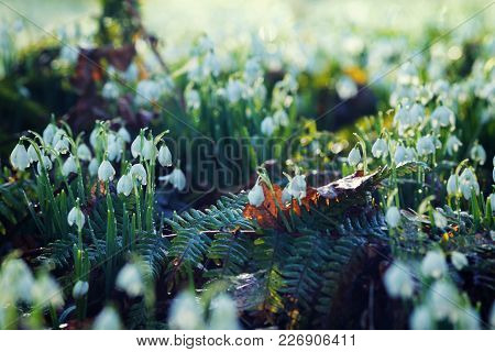 Wild Snowdrops On Woodland Meadow Covered In Morning Dew At Cold February Morning
