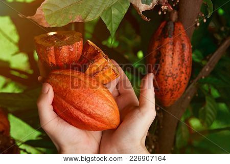 Cacao Harvest In Farmer Hands Close-up. Fresh Cut Of Cocoa Fruit Pods