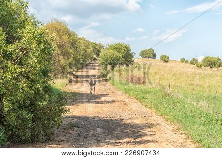A Farm Scene With A Donkey On A Farm Road At The Koranna Mountain Near Excelsior In The Free State P