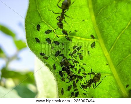 Ants Graze A Colony Of Aphids On The Inside Of The Leaf