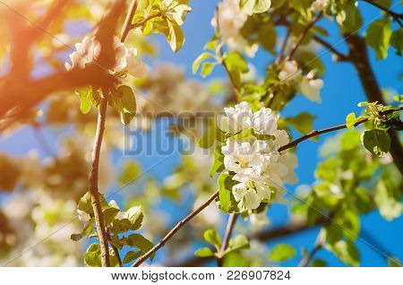 Spring flowers of apple tree blooming in the garden. Natural spring flower landscape. Spring flowers of blooming spring apple tree, closeup of spring apple flowers blooming in spring garden. Sunny spring nature view of spring apple flowers under sunlight