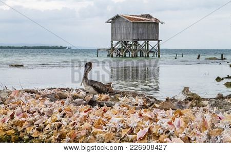 A Brown Pelican (pelecanus Occidentalis) Sits On A Mound Of Conch Shells On Tobacco Caye In The Cari