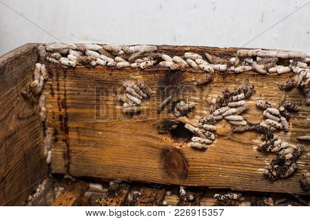 Wax Moth Larvae On An Infected Bee Nest. The Cover Of The Hive Is Infected With A Wax Moth. The Fami