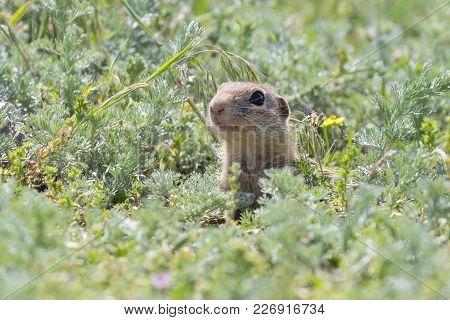 Cute European Ground Squirrel (spermophilus Citellus) Standing On A Field Of Grass