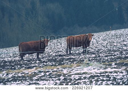 Brown Long Hairs Cows In Snow Landscape. The Livestock On A Farm Walks On Snow .   Cows And Snow