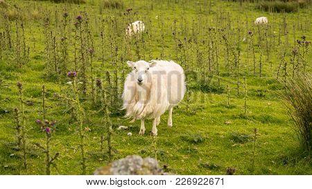 A Curious Sheep On A Meadow, Seen Near Llyn Cwmystradllyn, Gwynedd, Wales, Uk