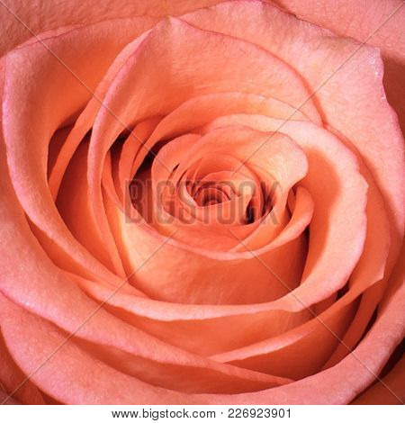 A Closeup Of A Peach Colored Beautiful Rose In Full Bloom.