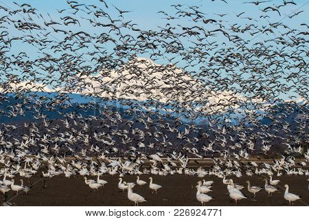 Snow Geese Flying Over Skagit Valley, Wa During Their Annual Migration.