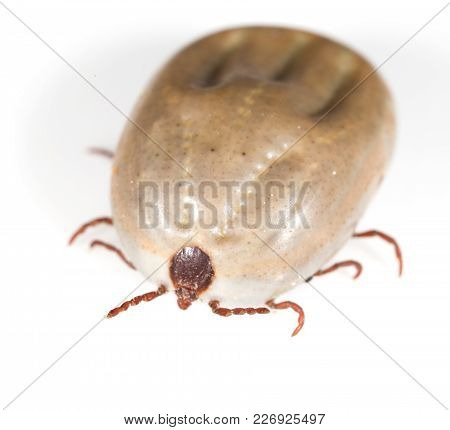 Beetle Mite On A White Background . Photos In The Studio