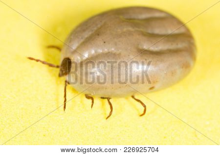 Beetle Mite On A Yellow Background . Photos In The Studio