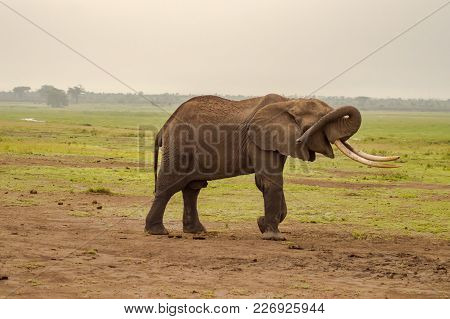 Isolated Elephant Hiding Her Eyes With Her Trunk In The Savannah Of Amboseli Park In Kenya