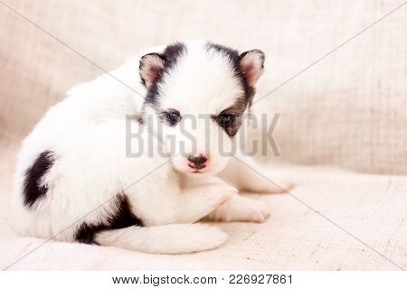 Cute Siberian Husky Puppy Black And White, Piebald, In Hands, With Brown Eyes
