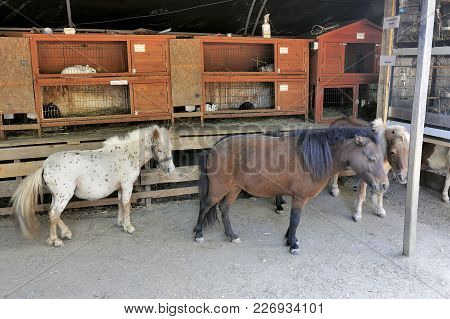 Small Horses In Front Of Hutches With Dwarf Rabbits