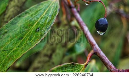 Dew Dripping From A Wild Fruit In A Jungle Located In Sabah, Malaysia.