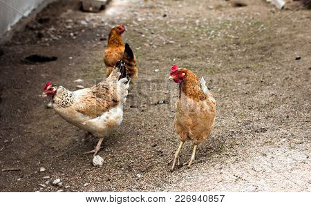 Chickens On The Farm. Free Range Chicken On A Traditional Poultry Farm.