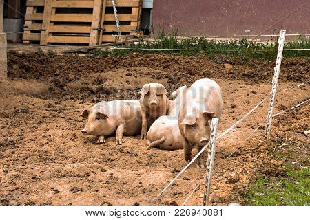 Pigs On The Farm.