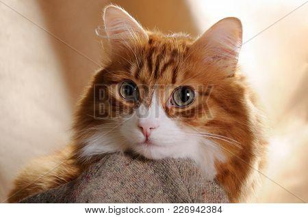 A Portrait Of A Red Cat Close-up