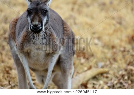 A Grey Kangaroo With A Rather Contemplative Expression And Posture.